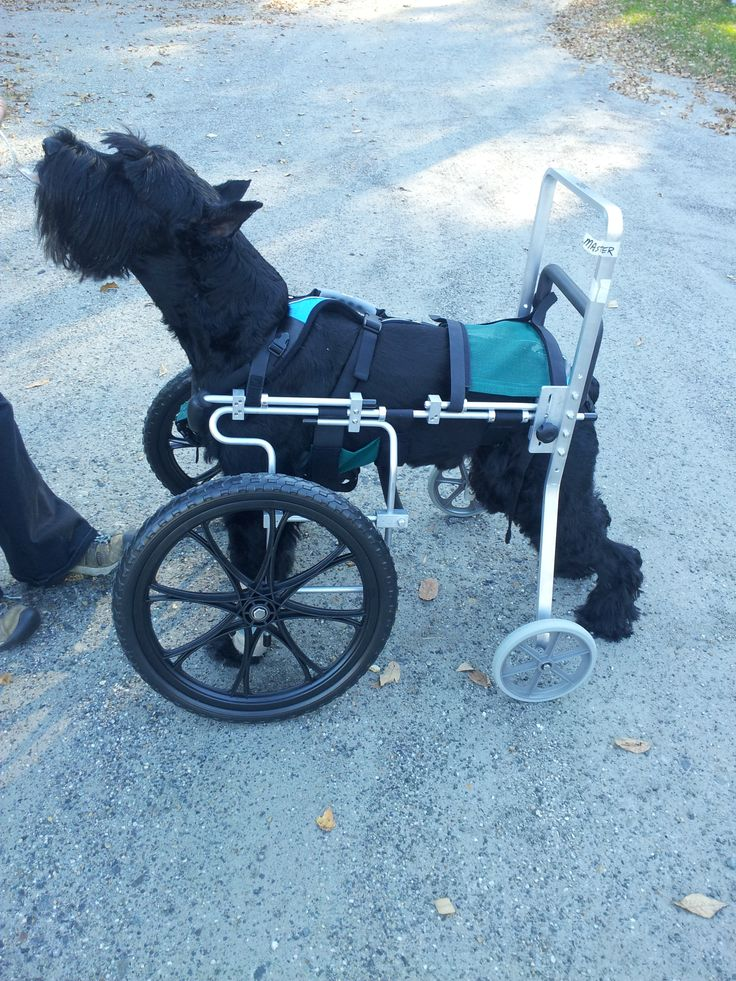Master The Giant Schnauzer In His Front Wheel Dog Wheelchair From Ed S Wheels He Was