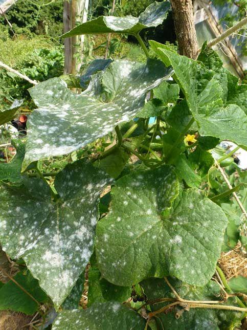 Attaque d o dium premier potager en permaculture - Maladie de la courgette ...