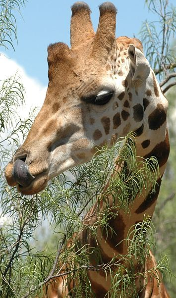 A giraffes tongue is about 20 inches long, blue-black in color, and very dexterous - cleaning nostrils with it?  non-issue