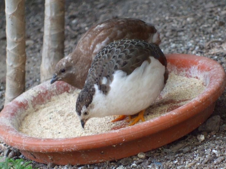 All About Button Quail | Button Quail at the Lamberton Conservatory | The Old Payroll Tax Lady