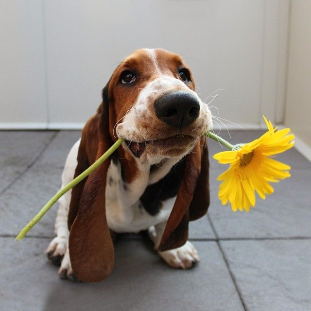 67 Best Images About ♡ Basset Quotes ♡ On Pinterest