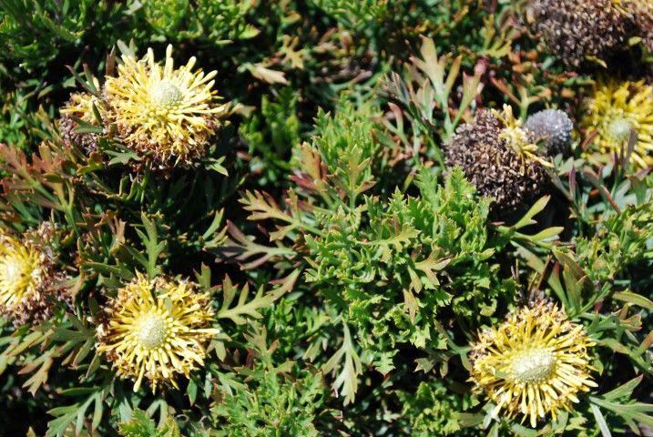 Isopogon Little Drumsticks --- For more Australian native plants visit austraflora.com