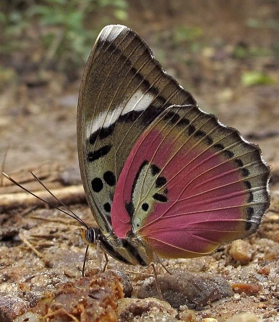 Pink Forester(Euphaedra xypete) photgraphed by hippobosca. is a butterfly in the Nymphalidae family. It is found in Guinea-Bissau, Guinea, Sierra Leone, Liberia, Ivory Coast, Ghana, Togo, Nigeria and western Cameroon.[2] The habitat consists of forests.