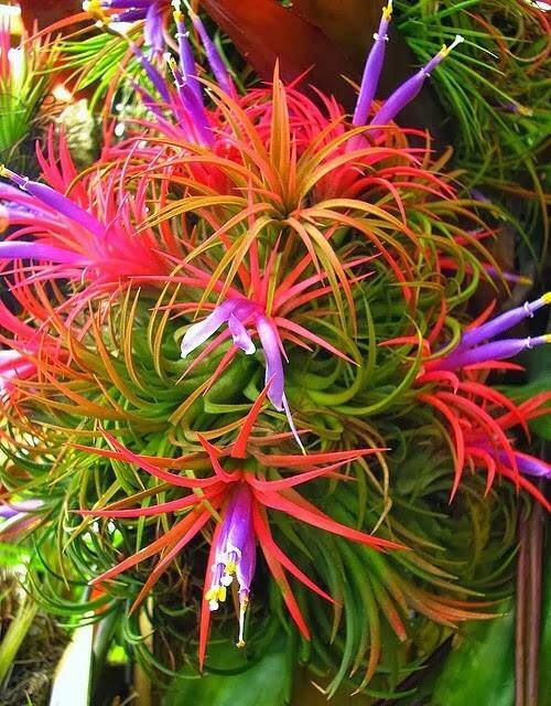 This is how the plant looks in real life - no Photoshopping! Tillandsia sp.