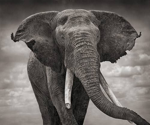 majestic.White Animal, Animal Photography, Elephant, Nick Brandt, Tattered Ears, Nickbrandt, Nature Photography, Africa, Animal Photos