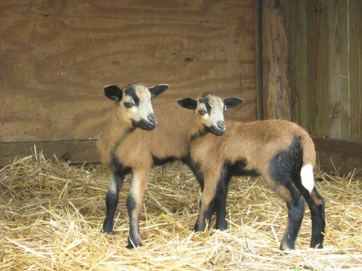 Baby American Blackbelly Sheep at Fulton Farms Sheep and