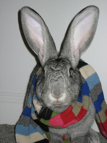 I adore Flemish Giant Rabbits! We had one named Buddy...he was so big and friendly and very smart...miss him!Giants Rabbit, Buns, Creatures, Flemish Giants, Adorable Bunnies, Bunnies Rabbit, Bunnies Stuff, Adorable Flemish, Animal