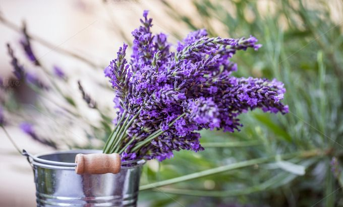 Fresh lavender flowers by Grafvision photography on @creativemarket