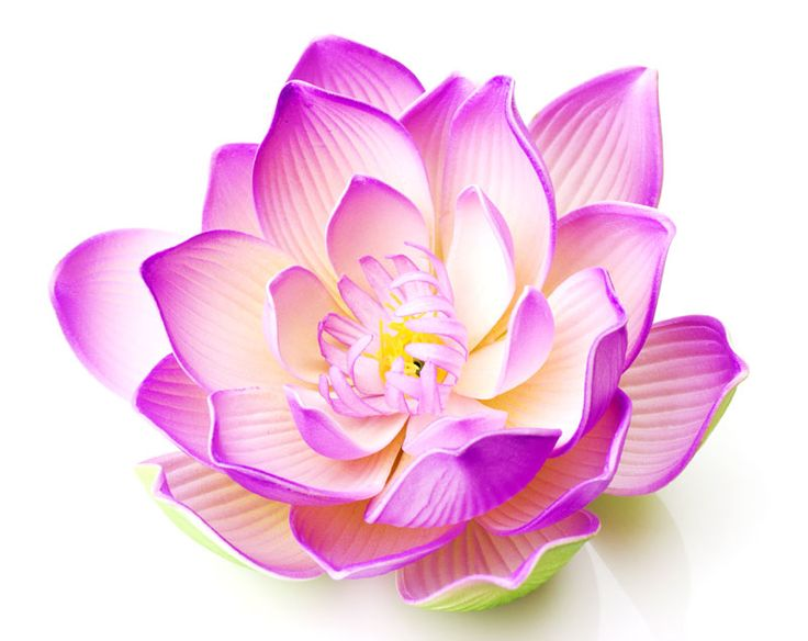 Lotus Flower Pictures And Images | Lotusfloweronline