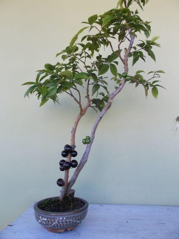 Bonsai de Jabuticabeira                                                       …                                                                                                                                                                                 Mais