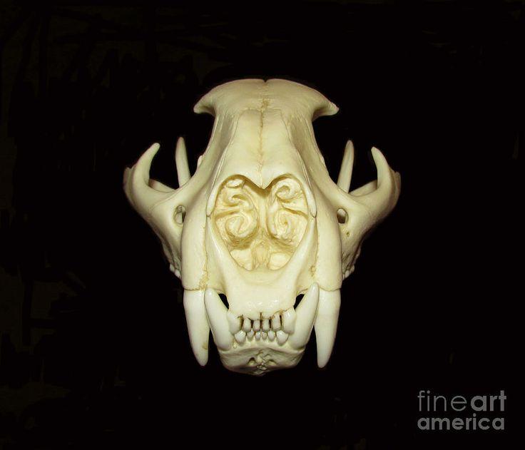 cougar-skull-rebekah-sisk.jpg (900×772)