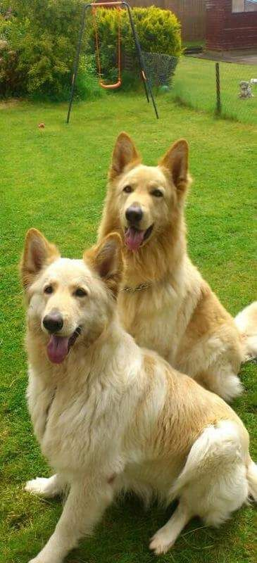 Champagne cream pedigree German Shepherd puppies | Gillingham, Dorset | Pets4Homes