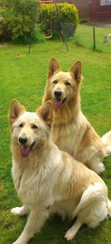 Champagne cream pedigree German Shepherd puppies | Gillingham, Dorset | Pets4Homes