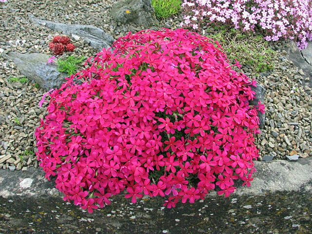 Alpine plants for a rockery - Phlox douglasii 'Red Admiral'