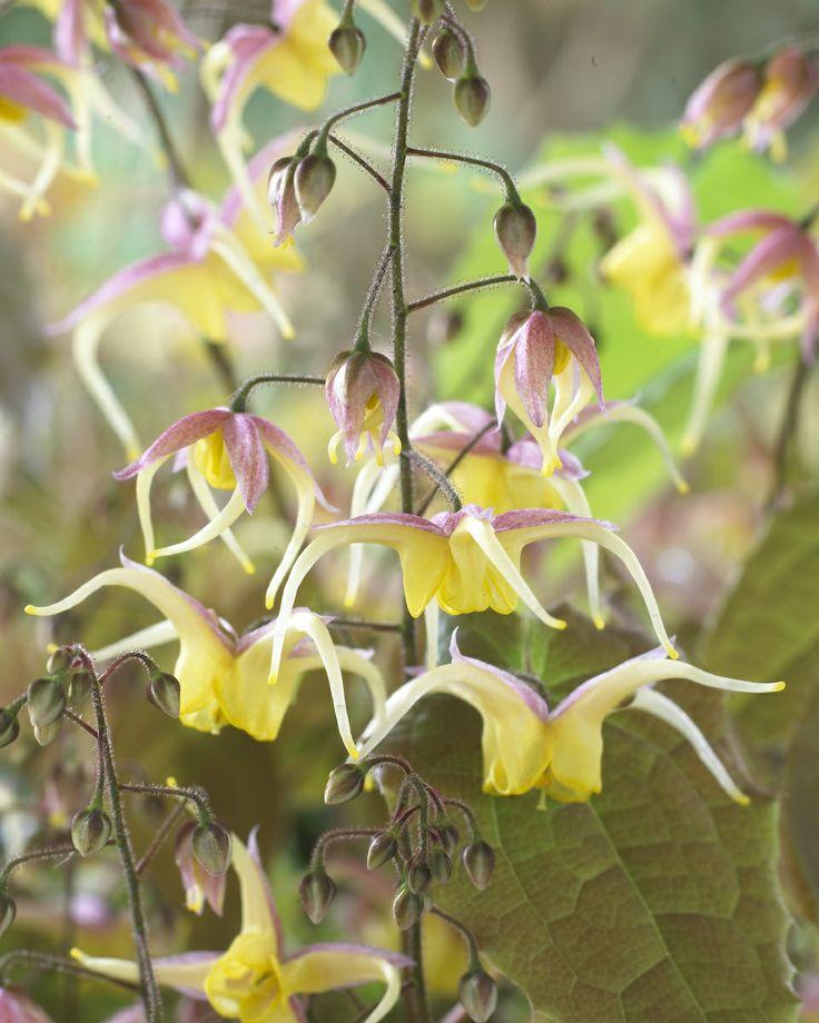 Pflanze der Woche: Epimedium aka Elfenblume, Ziegenkraut, Sockenblume oder Horny Goat Weed • Blumen & Pflanzen Blog • 99Roots.com