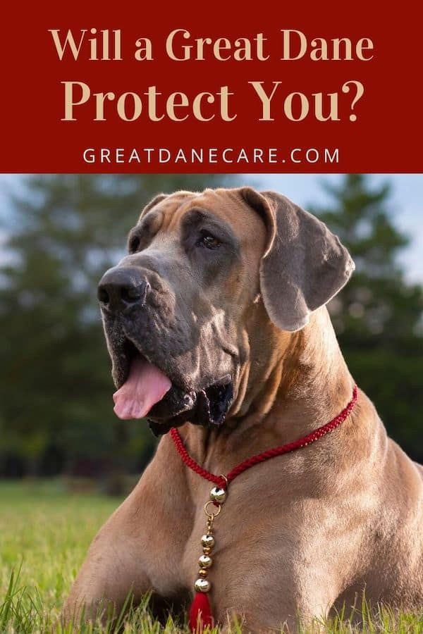 Will A Great Dane Protect You Do They Make Good Guard Dogs Best Guard Dogs Dog Names German Dog Names