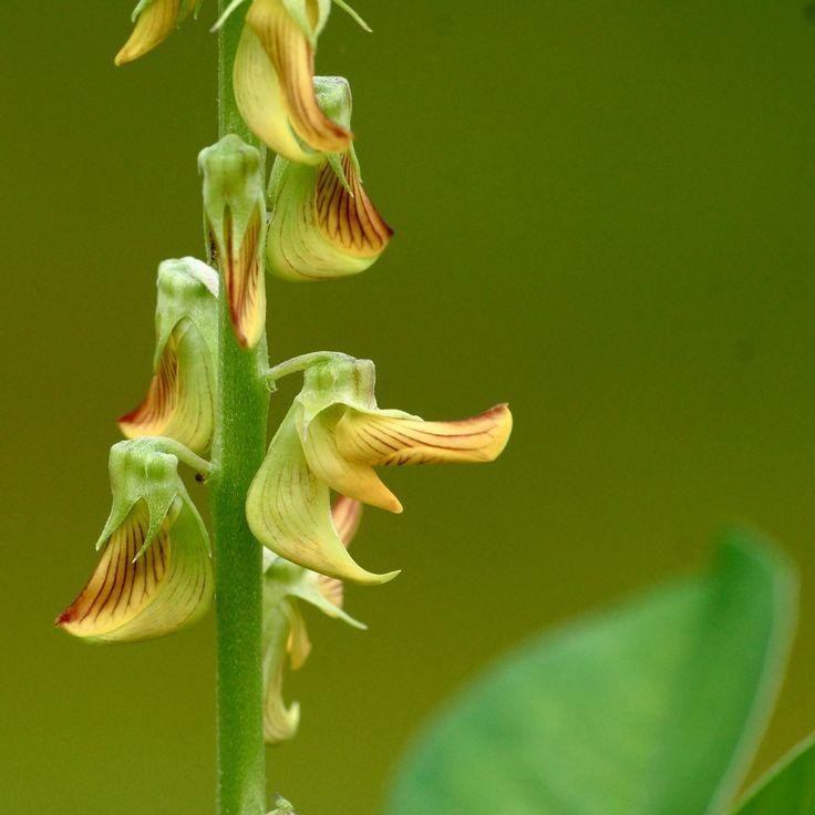 หิ่งหาย, หญ้าโป่งลม, มะหิ่ง, รางจืดตัวเมีย : Crotalaria quinquefolia Linn.