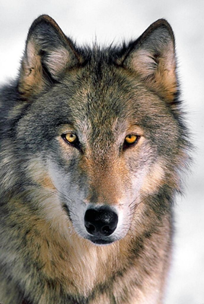 wolves | defenders of wildlife gray wolves were exterminated from oregon ...