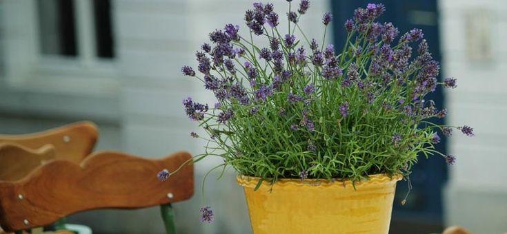 Lavendel Pflanzen kaufen: Tipps zur Qualität der Pflanzen, Gartencenter, Staudengärtnereien und Onlineangebote, Samen und seltene Lavendelsorten kaufen.