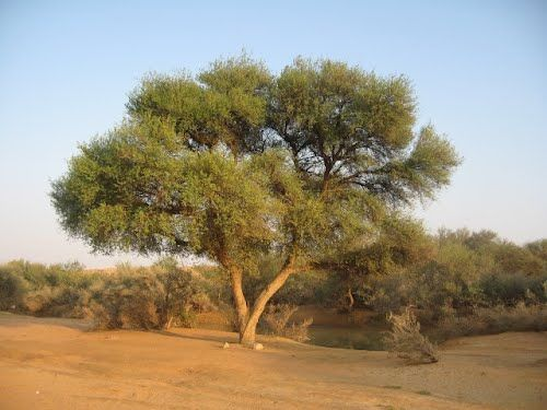 Ghaf Tree Beautiful Tree Desert Landscaping Tree Forest