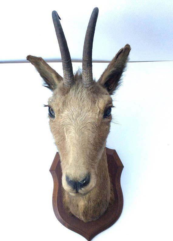 Stag head. Taxidermy. Vintage taxidermy. Deer head. Animal