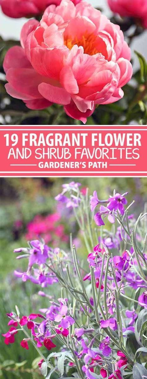 Several aspects of a plant inform our decisions in the garden. Color, shape, size, maintenance, and growing requirements all come into play. But one component can make us forget about everything else – fragrance. Heady, intoxicating, sweet, fruity, sensuous, and spicy, the scent of a flower is incomparable! Join us for a look at 19 fragrant flower and shrub favorites.