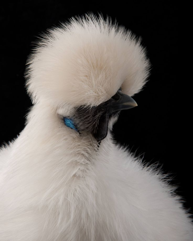 "Richard Bailey photography ""White Bethat is a chicken!!w.. wowie ..that is a chicken ????"