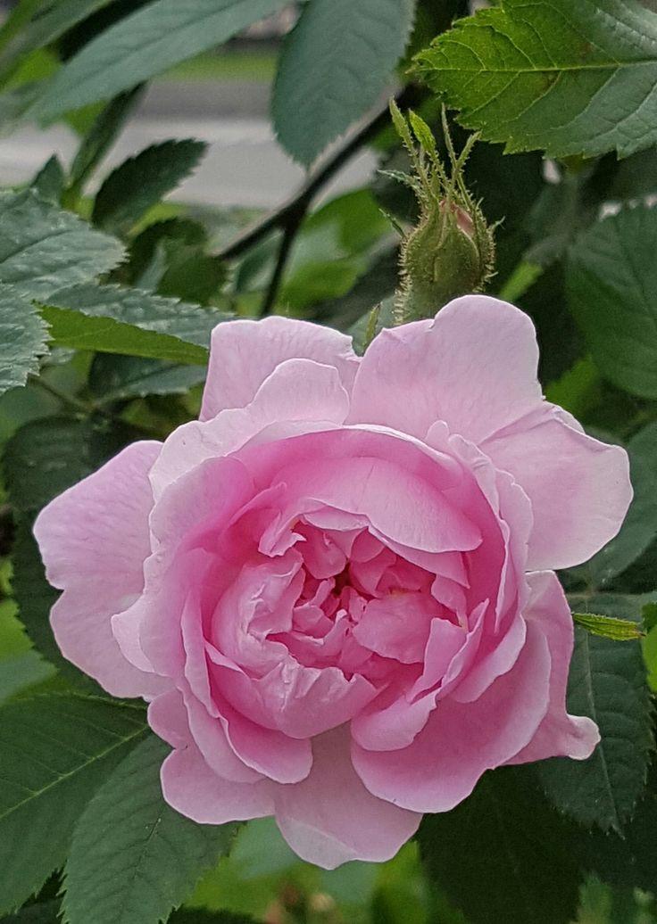 Hurdalsrosa, som en drøm i rosa tyll…