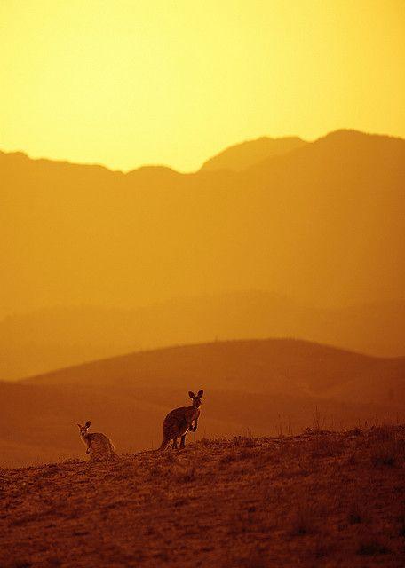 Kangaroos Flinders Ranges Australia