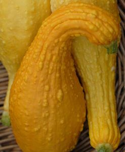 Yellow Crookneck Organic 1