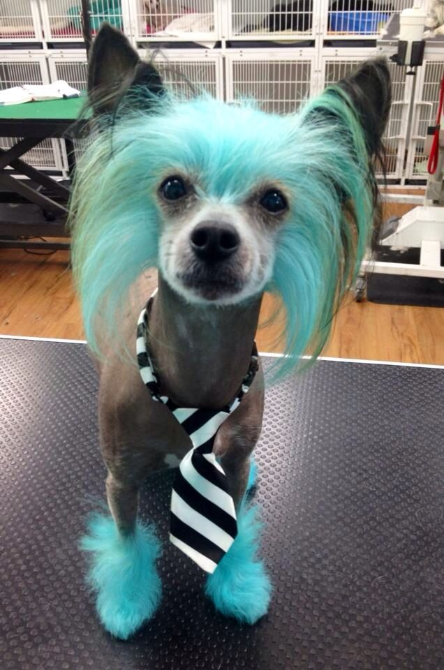 25 Best Ideas About Chinese Crested Dog On Pinterest