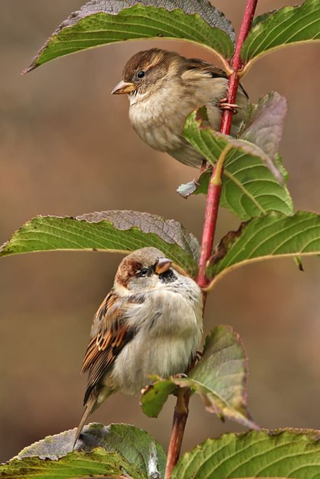 English Sparrows, so sweet.