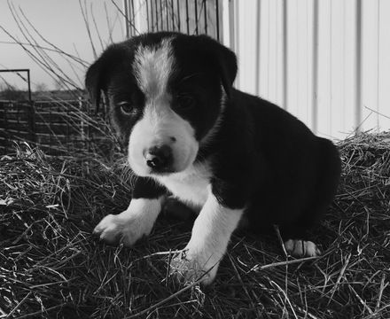 1000+ ideas about Collie Puppies For Sale on Pinterest