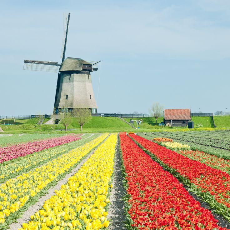 Molen met bloembollenvelden. Nederland