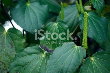 Kawakawa (Macropiper excelsum) Royalty Free Stock Photo