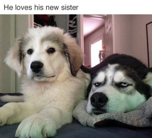 Huskies have the best facial expression