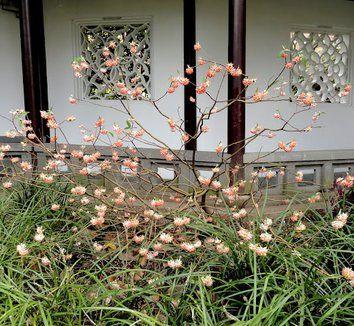 Edgeworthia chrysantha 'Akebono' 5 flower, form