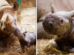 GENTLY nuzzling her mother, this adorable newborn rhino will one day grow to hopefully play a vital role in saving her kind from oblivion.