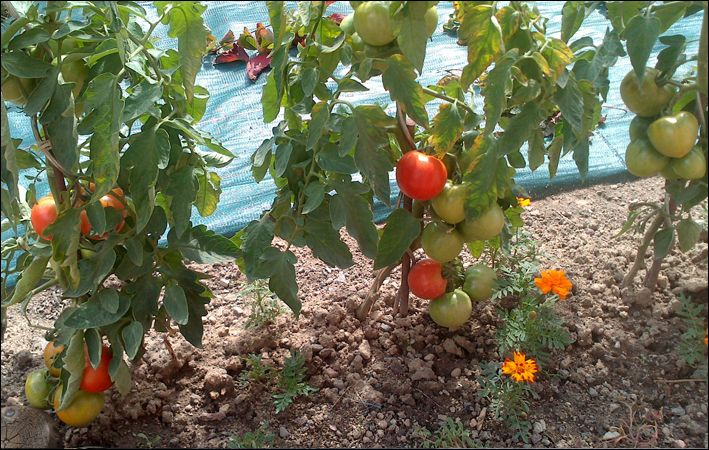 1000 id es sur le th me tuteur tomate sur pinterest potager le potager et puceron vert. Black Bedroom Furniture Sets. Home Design Ideas