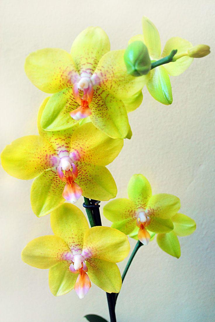 7 Kwiatów - blog o kwiatach i florystyce ślubnej: Pielęgnacja storczyka - to na prawdę łatwe!