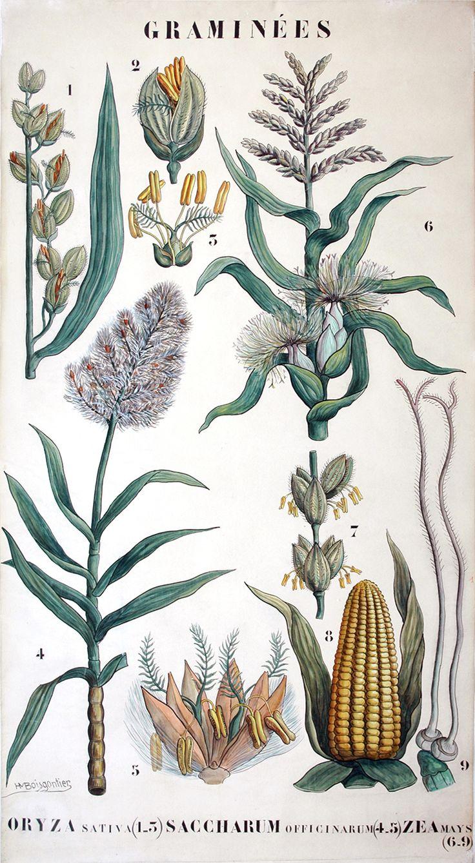 Arthur-Henri Boisgontier, planche de botanique aquarellée gouachée, 1890 / ©Musée du Vivant - AgroParistech