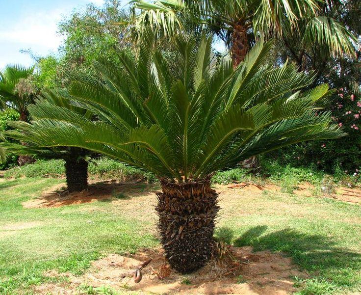 cyca revoluta ( palma nana)