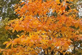 The Tree with Red Mittens | Missouri Department of Conservation: A lovely article about the history of the sassafras tree in the Ozarks.