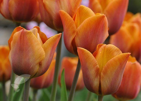 Tulipa Cairo. April/ May 45cm