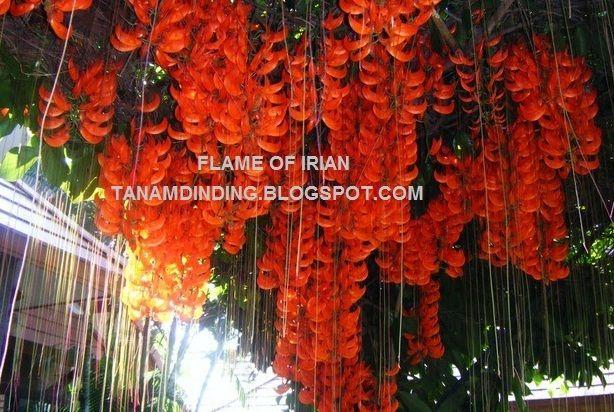 FLAME OF IRIAN