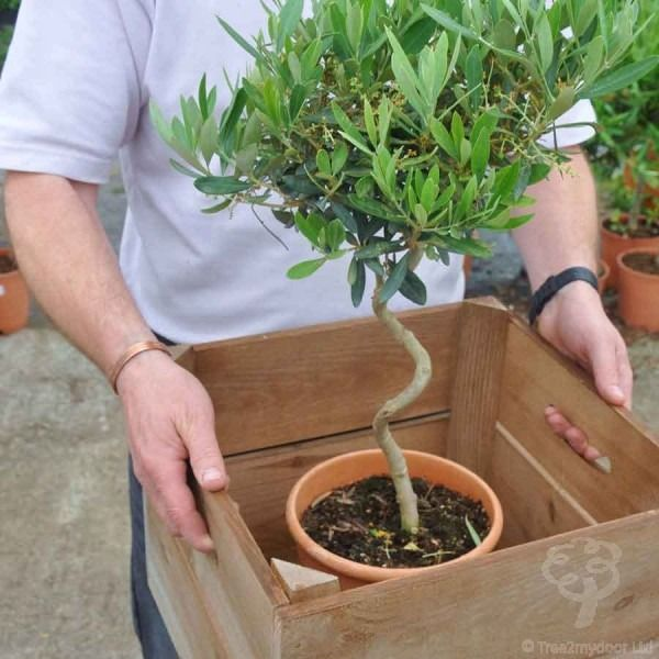 Twisted Olive Trees for Sale