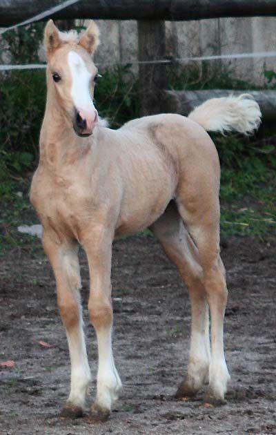 palomino foal - photo #42