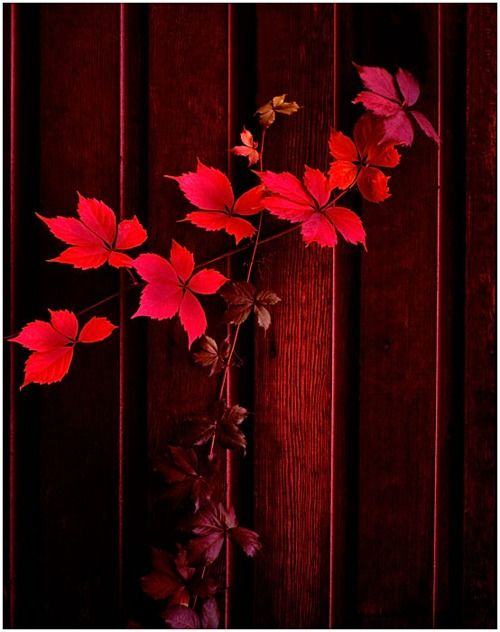 autumn leaves, wine red against darker wine red wall