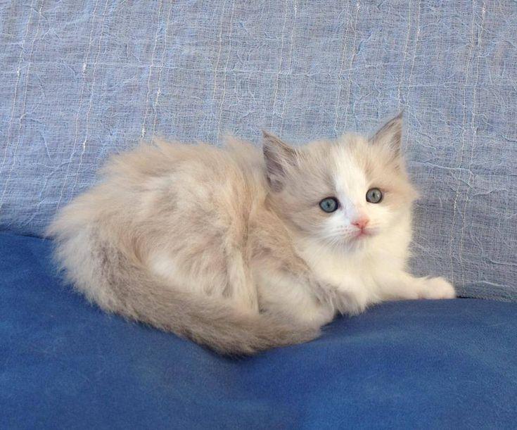 Lilac Sepia Ragdoll Kitten For Sale Google Search