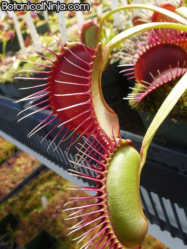 dionaea muscipula how to grow
